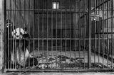 Wildlife Photographer of the Year 2019: Panda im Käfig