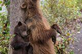 Wildlife Photographer of the Year 2019: Bären am Baum