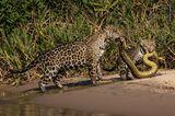 Wildlife Photographer of the Year 2019: Jaguare mit Schlange