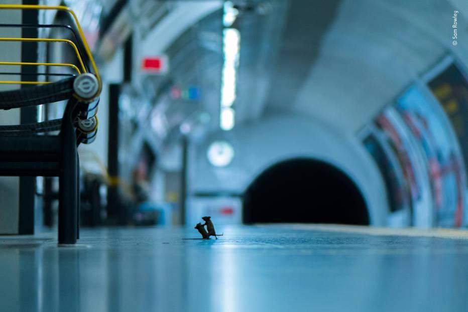 Wildlife Photographer of the Year 2019: Mäuse kämpfen auf dem Bahnsteig