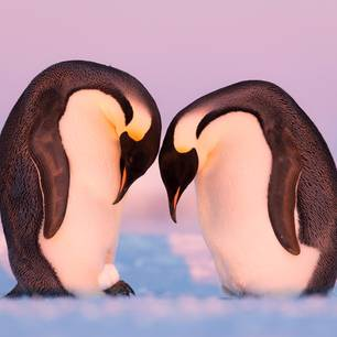 Wildlife Photographer of the Year 2019: Pinguine