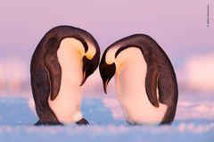 Wildlife Photographer of the Year 2019: Pinguine