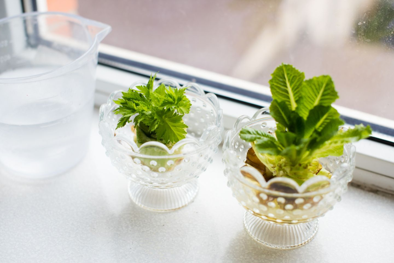 Regrowing: Glasschälchen mit Keimlingen