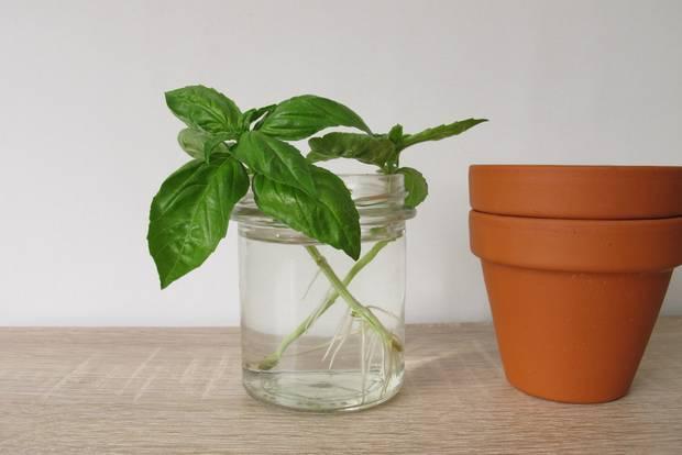 Regrowing: Basilikumstängel in Wasserglas
