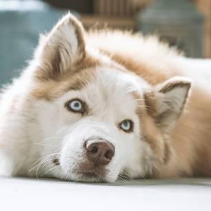 Diese Hunderassen erobern mit ihren blauen Augen euer Herz: Foto von einem Husky
