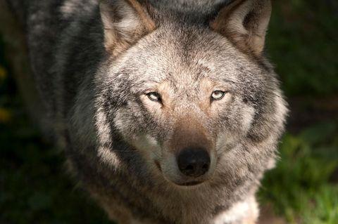 Angst vor einem Wolf: Kompletter Kindergarten geschlossen