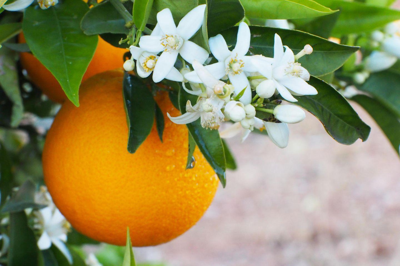 Orangenblütenwasser: Orangenbaum mit Blüten