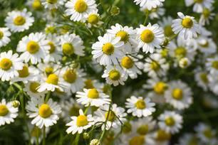 Blüten der Kamille