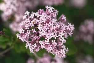 Blüte des Baldrian