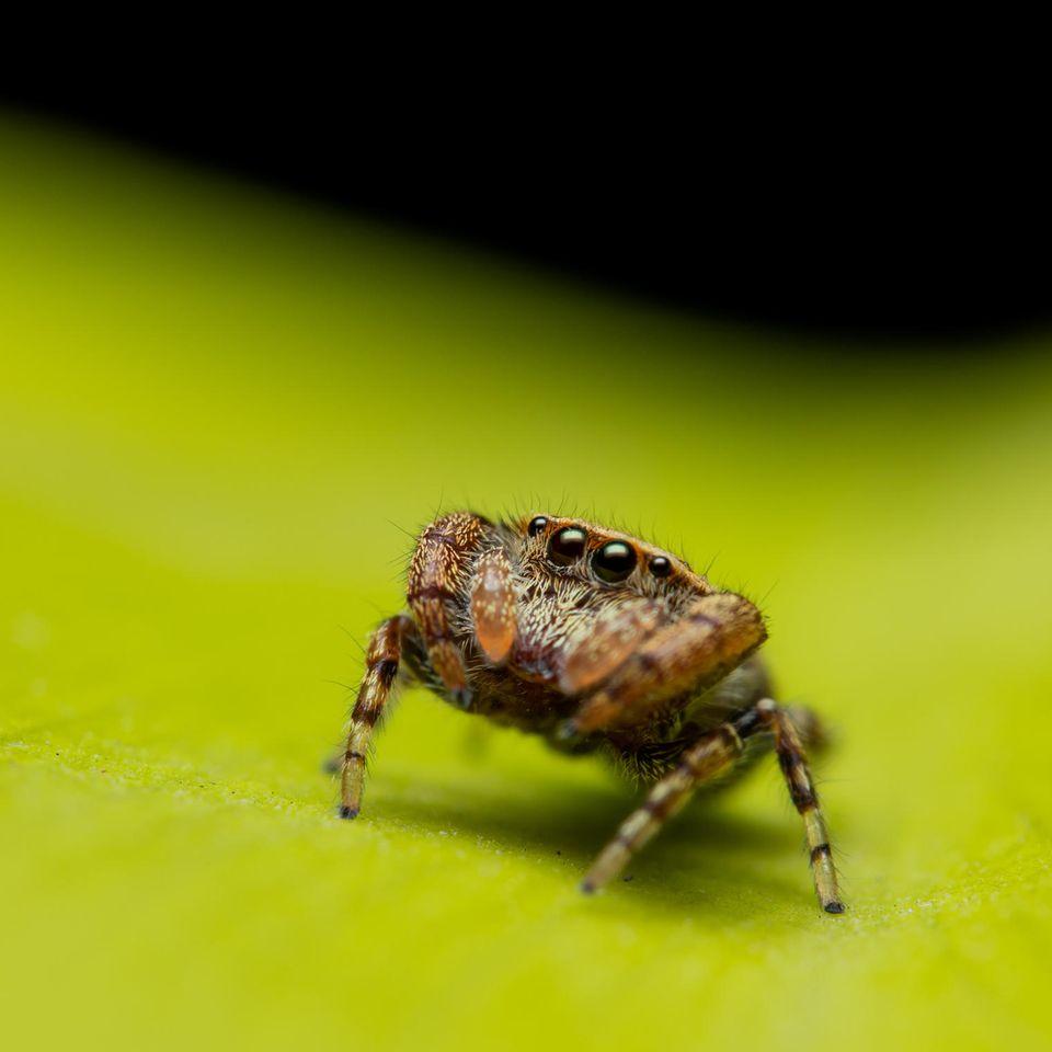 Spinne auf grünem Blatt