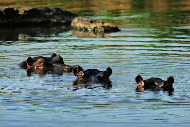 Drakensberge: Südafrika-Safari mal anders: Flusspferde im Fluss