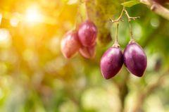Tamarillo: Früchte am Baum