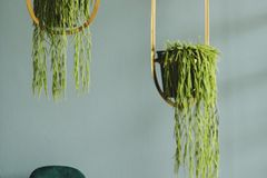 Exotische Zimmerpflanzen: Lust auf Monstera & Co.: Hängepflanzen