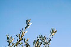 Ecosia: Per Klick ein neuer Baum: Baumkrone