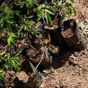Ecosia: Per Klick ein neuer Baum: Setzlinge