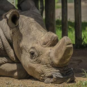 Weißes Nashorn Sudan