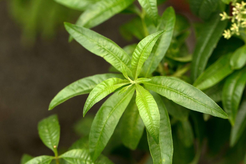 Blätter der Verveine-Pflanze