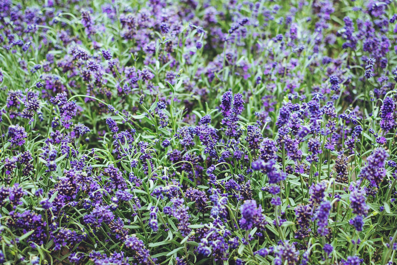 Lavendel vermehren: So geht's
