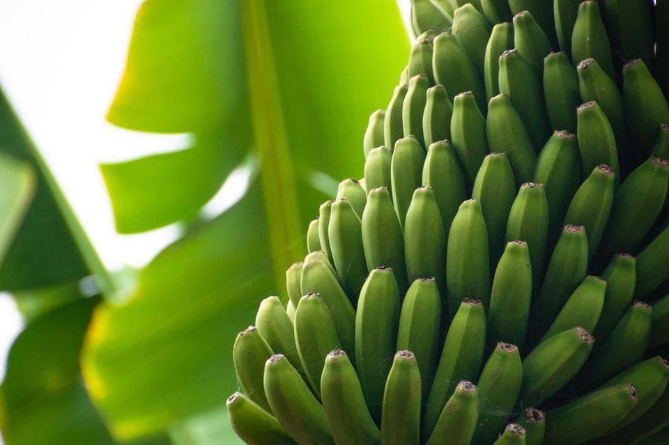 Bananen auf Teneriffa