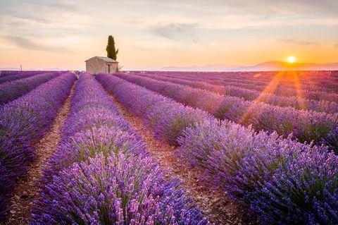 Lavendelfeld in der französischen Provence