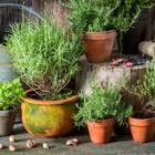 Kräuter pflanzen: verschiedene Kräuter in Töpfen
