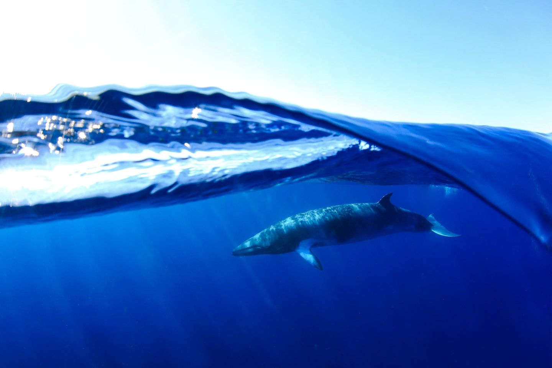 Unterwasserbilder 2020: Zwergwal unter Wasser