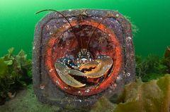 Unterwasserbilder 2020: Hummer im Kegel