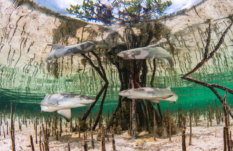 Unterwasserbilder 2020: Haie schwimmen um einen Baum