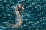 Unterwasserbilder 2020: Seepferdchen