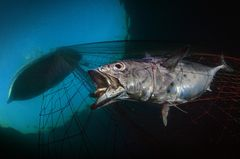Unterwasserbilder 2020: Fisch im Netz