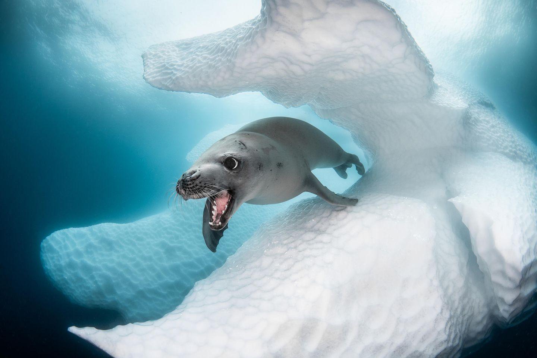 Unterwasserbilder 2020: Seelöwe unter Wasser