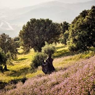 Cilento: Olivenhain am Berghang