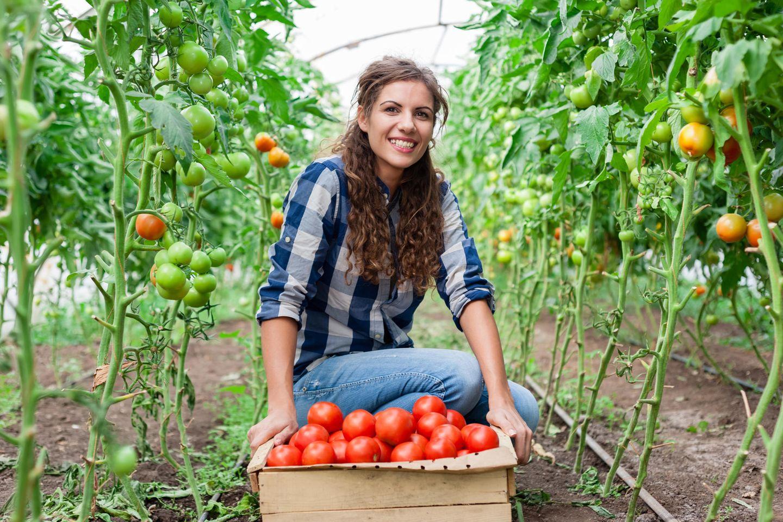 Landwirt: Frau erntet Tomaten
