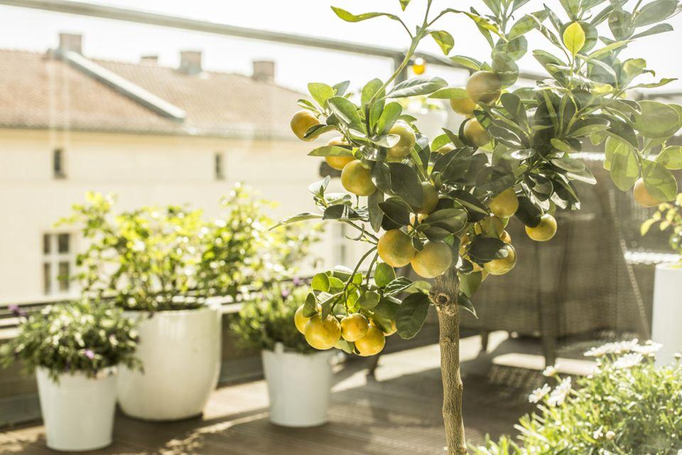 Balkon gestalten: Olivenbäumchen auf einem Balkon