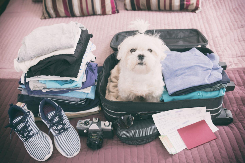 Fliegen mit Hund: Malteser-Hund sitzt im Koffer