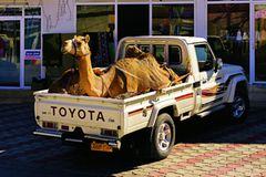 Reisetipps Oman: Kamel auf Auto-Ladefläche