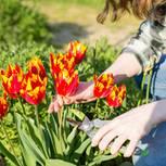 Tulpen schneiden: Frau schneidet Tulpen