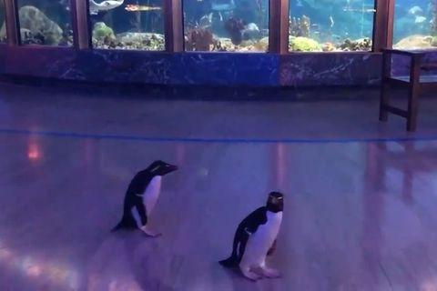 Sturmfrei! Pinguine erkunden geschlossenen Zoo