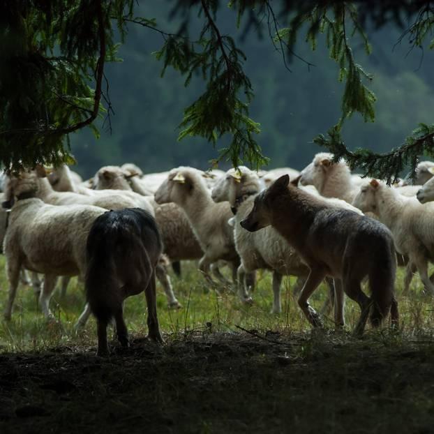 Wolf im Schafspelz: Wolf in Schafsherde