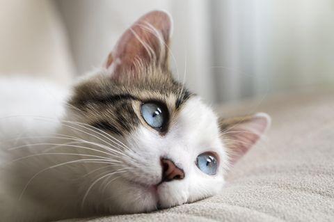 Blauäugige Katze