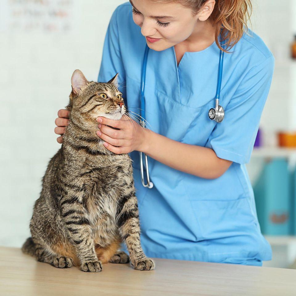 Tierarzt: Tierärztin untersucht eine Katze