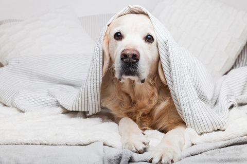 Homeoffice während Corona: Hund im Bett