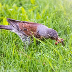 Der frühe Vogel fängt den Wurm: Vogel pickt Wurm auf Wiese