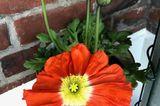 Ich liebe Mohnblumen, besonders die in leuchtendem Rot oder Orange. Steht sie im Topf, hab ich länger etwas davon und ich freu mich über jede Knospe, die gaaaaanz langsam aufgeht. Normalerweise bekomme ich während der Arbeitswoche außer einem kurzen Blick morgens und abends nicht viel davon mit. Jetzt, da ich im Home-Office arbeite, gehe ich ab und zu auf den Balkon und schau mir die Blüten an und freu mich.  Katrin, Community-Redakteurin