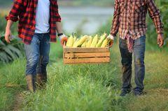 Erntehelfer gesucht: Asylbewerber sollen in der Landwirtschaft arbeiten