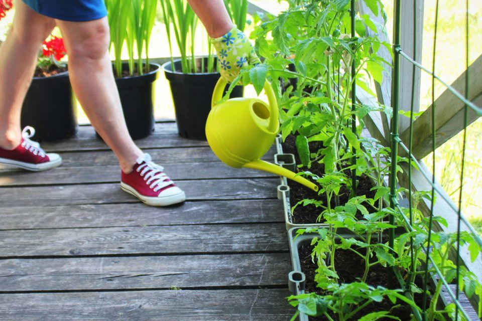 Selbstversorgung: Frau gießt Tomatenpflanzen auf dem Balkon