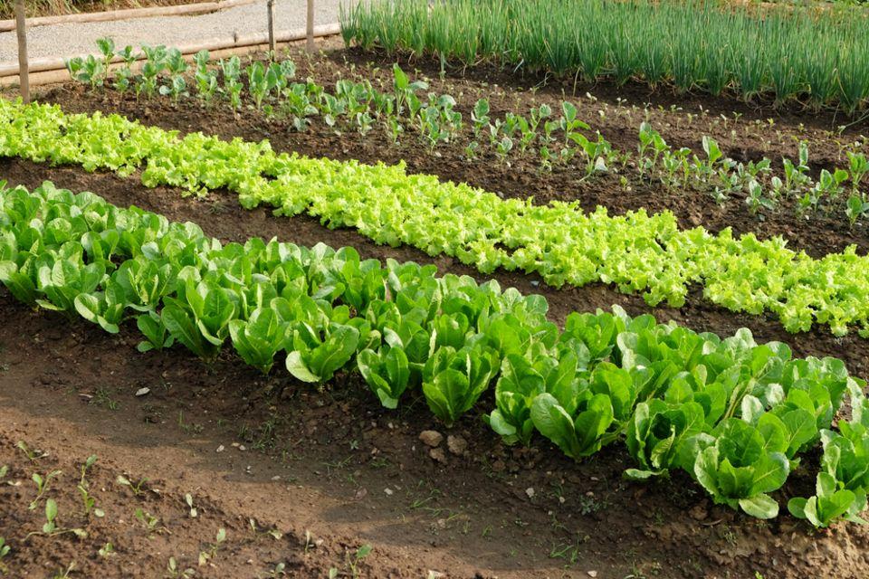 Selbstversorgung: Garten mit Salat