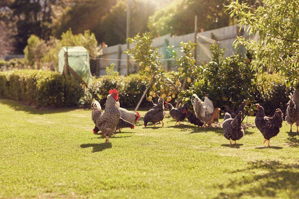 Selbstversorgung: Hühner im Garten