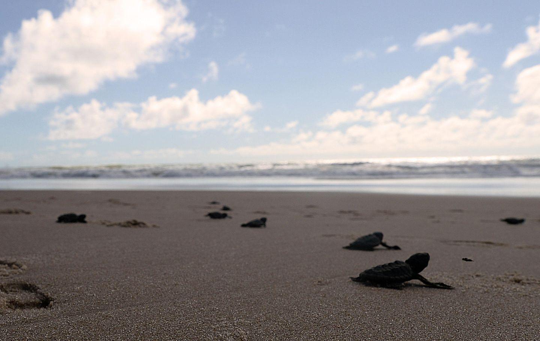 Corona-Krise: Schildkrötenjungen auf dem Weg ins Meer