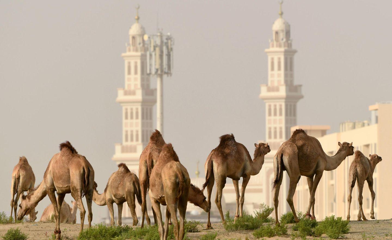 Corona-Krise: Kamele vor der Stadt